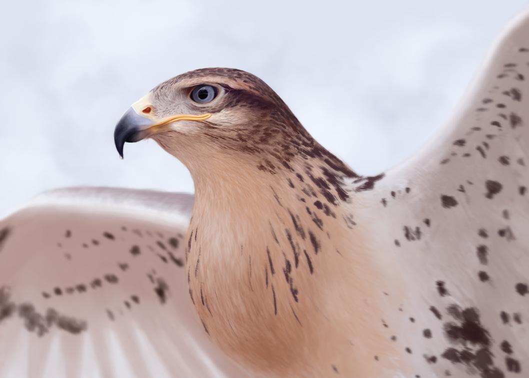 Ferruginous Hawk by xArmony