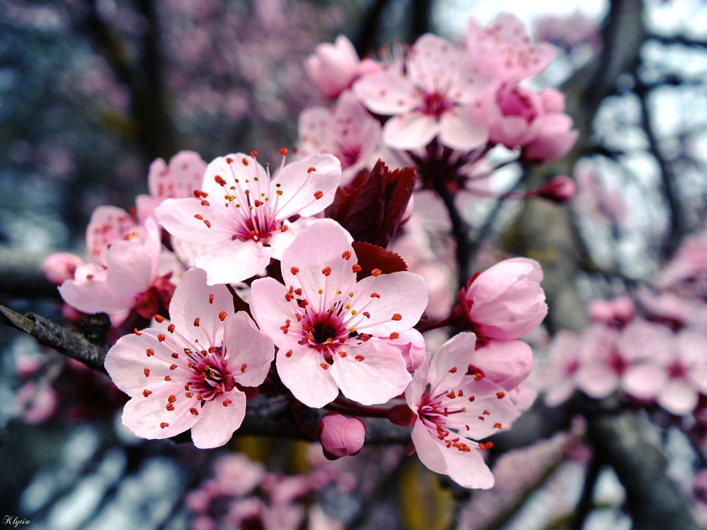 Plum blossoms by Klytia70