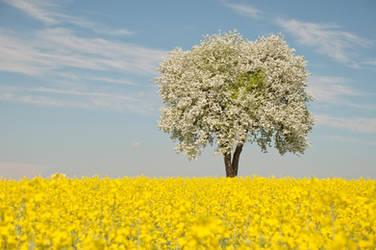 Rape field with blooming pear tree by Mottsei