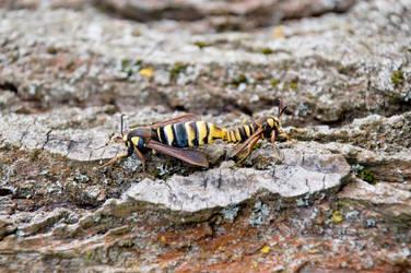 Hornet Moth by Mottsei
