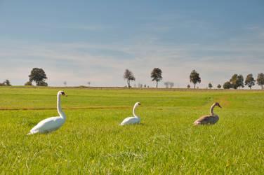 Mute Swan Family by Mottsei