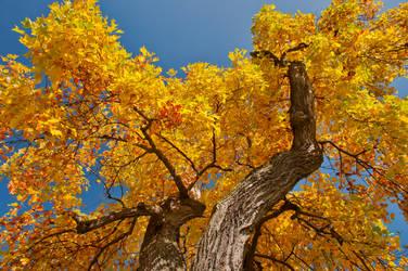 Maple Treetop by Mottsei