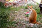 My orange cat