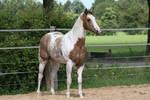 Paint horse stock