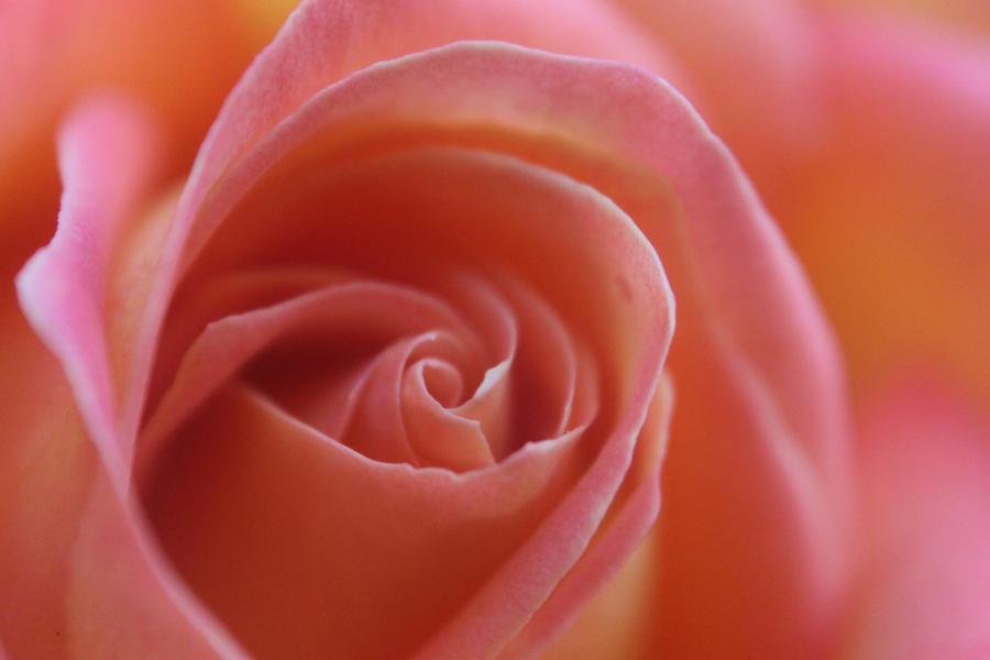Rose by adrrar