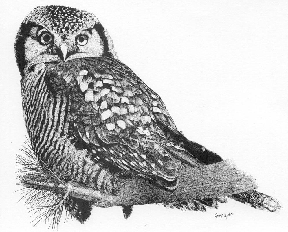 Northern hawk owl drawing