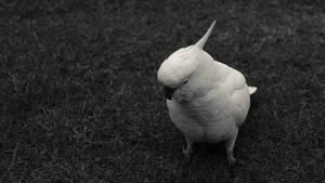 Black and white cockatoo