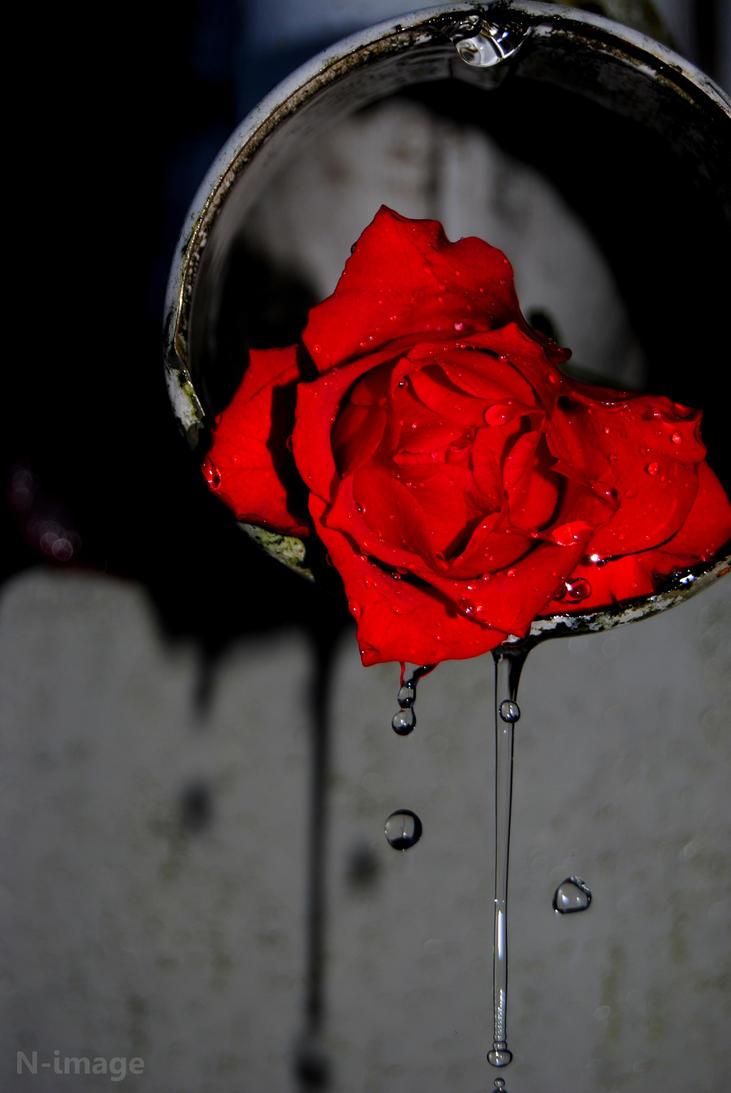 Weeping Rose by N-image