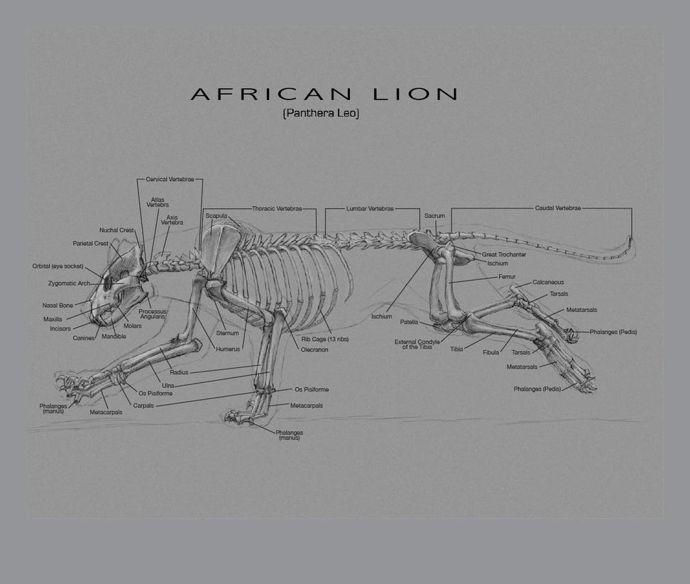 African Lion Skeleton By Etherealproject On Deviantart