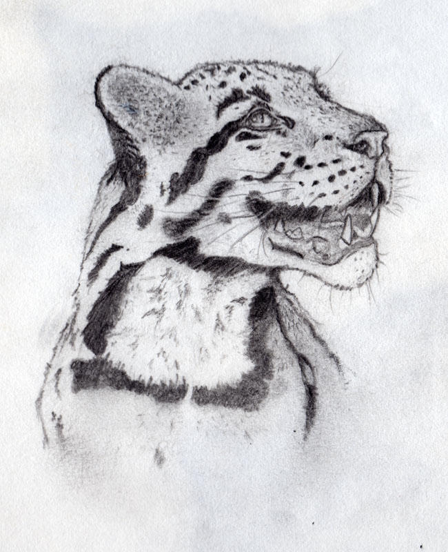 Leopard Pencil Drawings Clouded Leopard pencil...