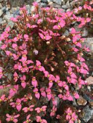 pink shrub stock flowery by TanithLipsky