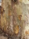tree bark of an Australian tree