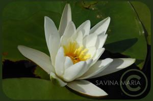 angozero 10 - water lily by Marsulu