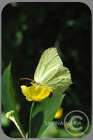 angozero 5 - butterfly by Marsulu