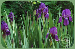 angozero 8 - Irises by Marsulu