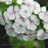 lovely flowers_20 by Marsulu