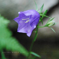 lovely flowers_21 by Marsulu
