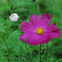 lovely flowers_25 by Marsulu