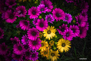 Daisies by robmurdock