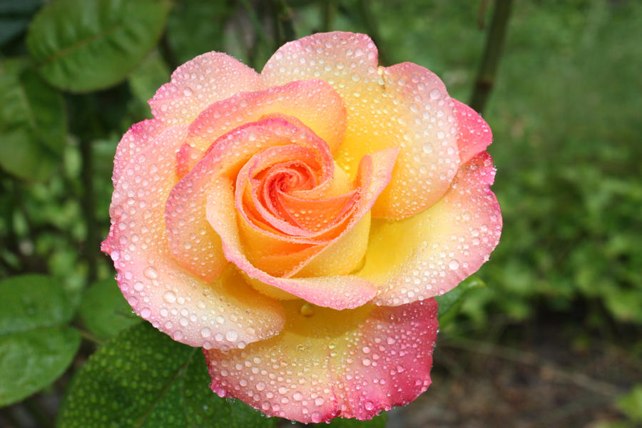 Yellow pink rose mist by bluedragoneye on deviantart yellow pink rose mist by bluedragoneye mightylinksfo