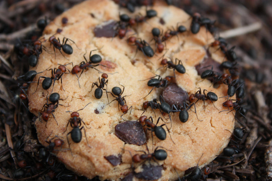 Red Ants Chocolate Chip Cookie
