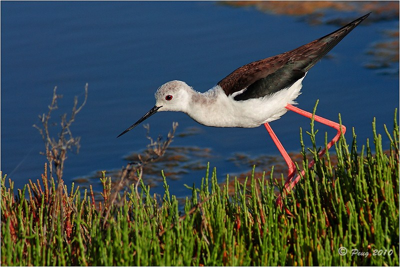 Black-winged Stilt by Peug
