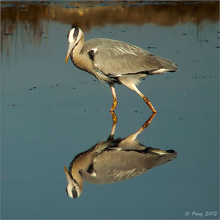 Great Heron by Peug