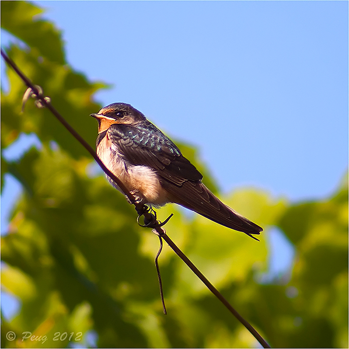Eurasian Swallow by Peug