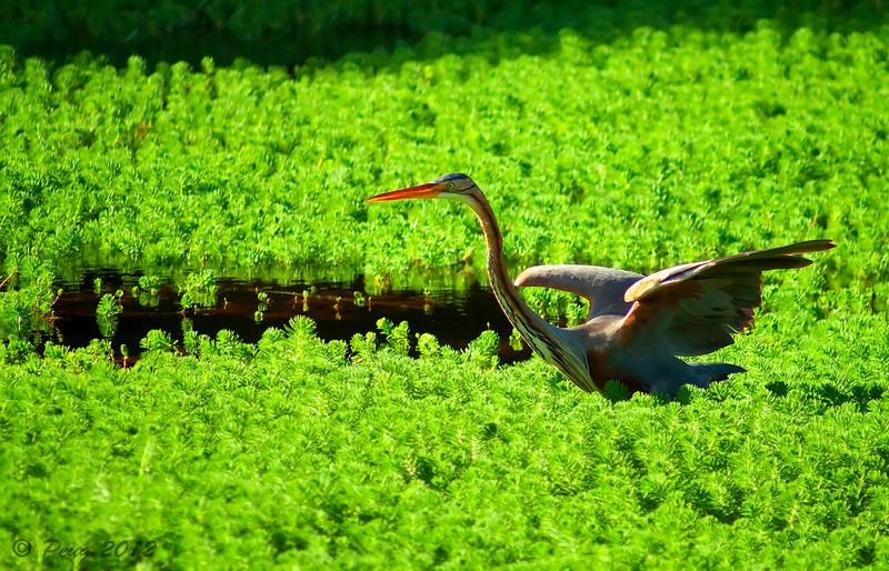 Red Heron by Peug