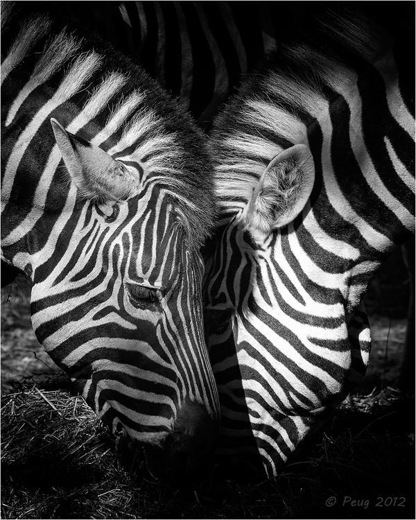 Zebras by Peug