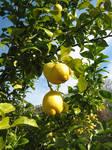 Lemon anyone