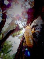 Golden Cicada 2