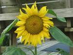 Sun flower1