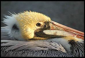 Brown Pelican by rgphoto777