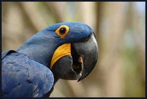 Palhaco azul by rgphoto777