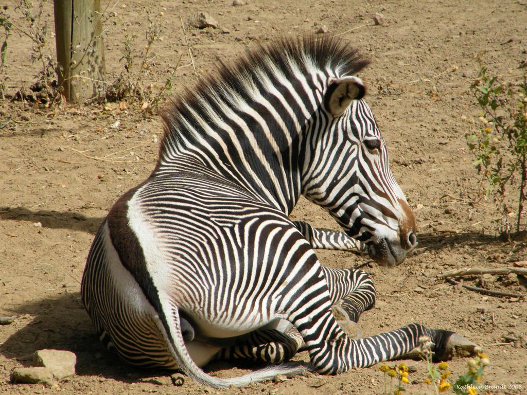 Zebra by Asherose