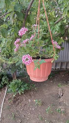 Hanging pot with flowers [2/2]