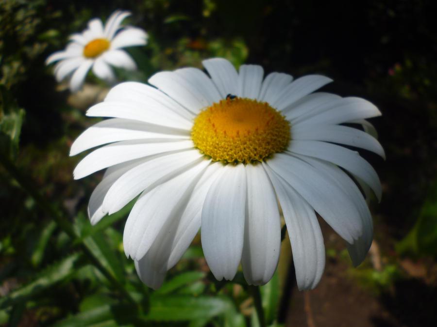 flor margarita daisy flower by malkarma on DeviantArt