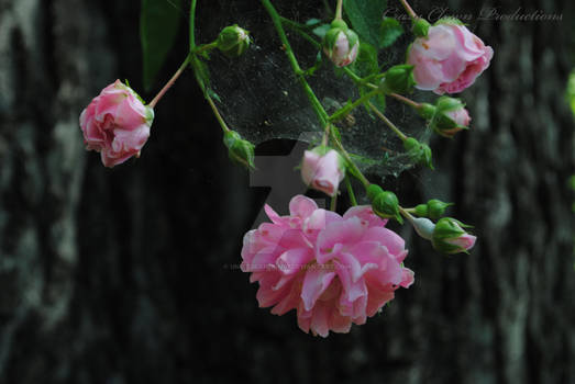 Roses and Webs