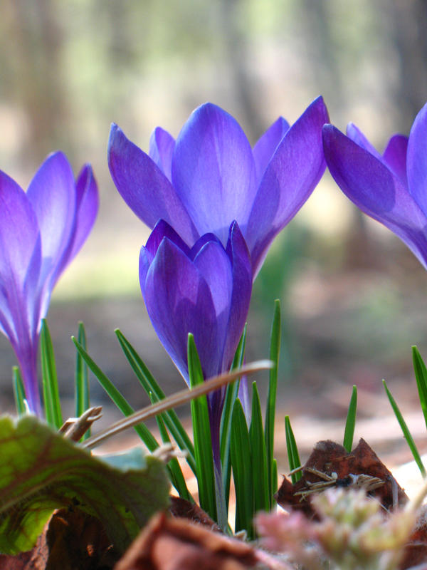 Spring Crocus I by Deirdre-Diuran