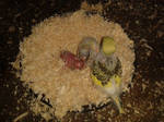 My First Three Budgie Chicks! by OverlordAvarice