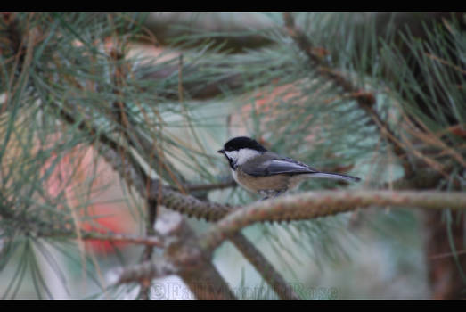 Little Chickadee.
