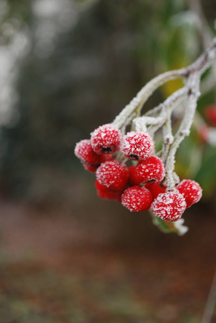 The Winter Berries