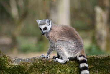 young ring-tailed Lemur by corkcityshuffle