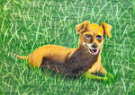 Zoe the Chiweenie Series #2 - Sunbathing Pup