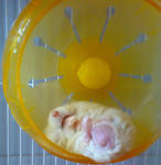 Hamster - Squeaky