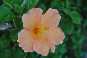 Hawaii Flower Stock 1