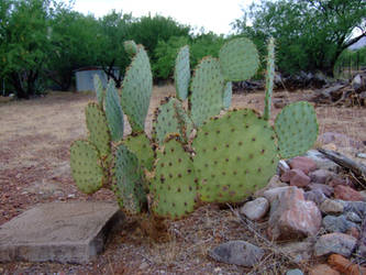 Patagonia Cactus by Spiteful-Pie-Stock