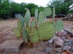 Patagonia Cactus
