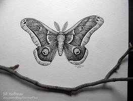 Polyphemus Moth by JillHoffman